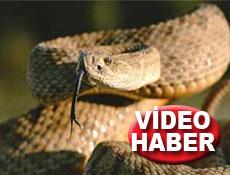 Pazarda 11 metrelik dev yılan!